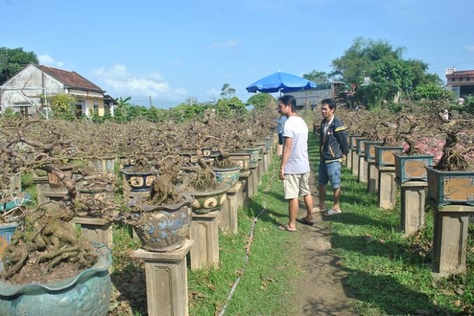 Cùng với mai truyền thống, mai bonsai năm nay cũng thu hút được nhiều người quan tâm. Trong ảnh là vườn mai bonsai của ông Nguyễn Trí Tuấn (57 tuổi, làng Thanh Liêm), đây là vườn mai bonsai lớn nhất Nhơn An.