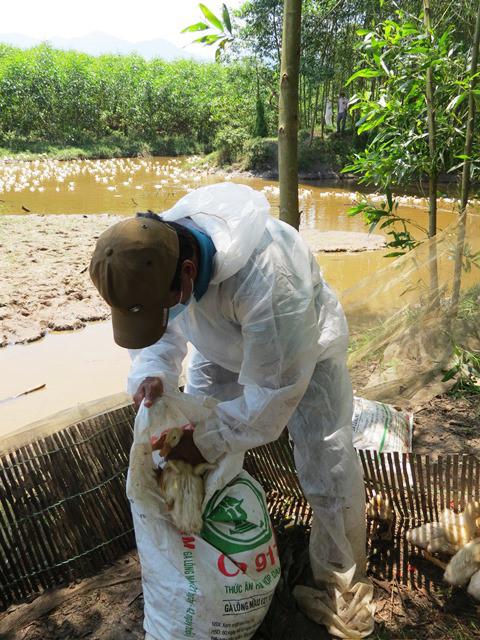 Thu gom vịt nhiễm H5N6 để tiến hành tiêu hủy.