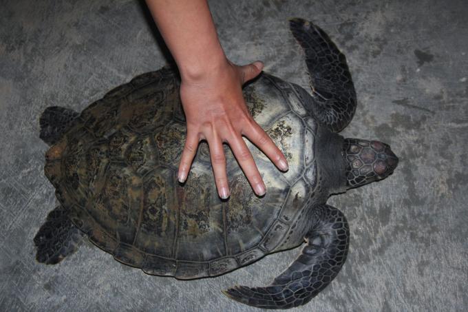 Cá thể rùa biển bị sa vào lưới ngư dân.