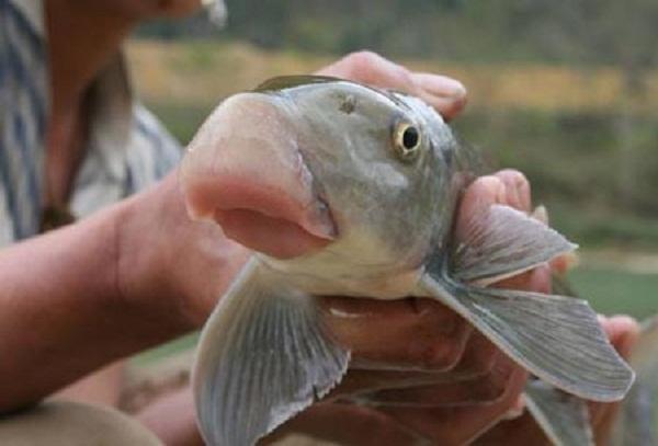 Cá Anh Vũ, loại cá được mệnh danh là cá