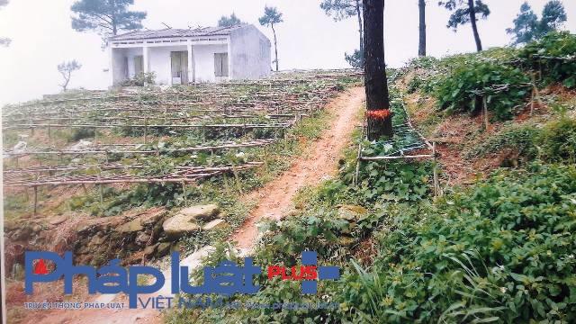 Các hộ dân tự ý chặt phá rừng, trong đó có người nhà cán bộ thị trấn Tam Đảo (Ảnh: Đào Tấn)