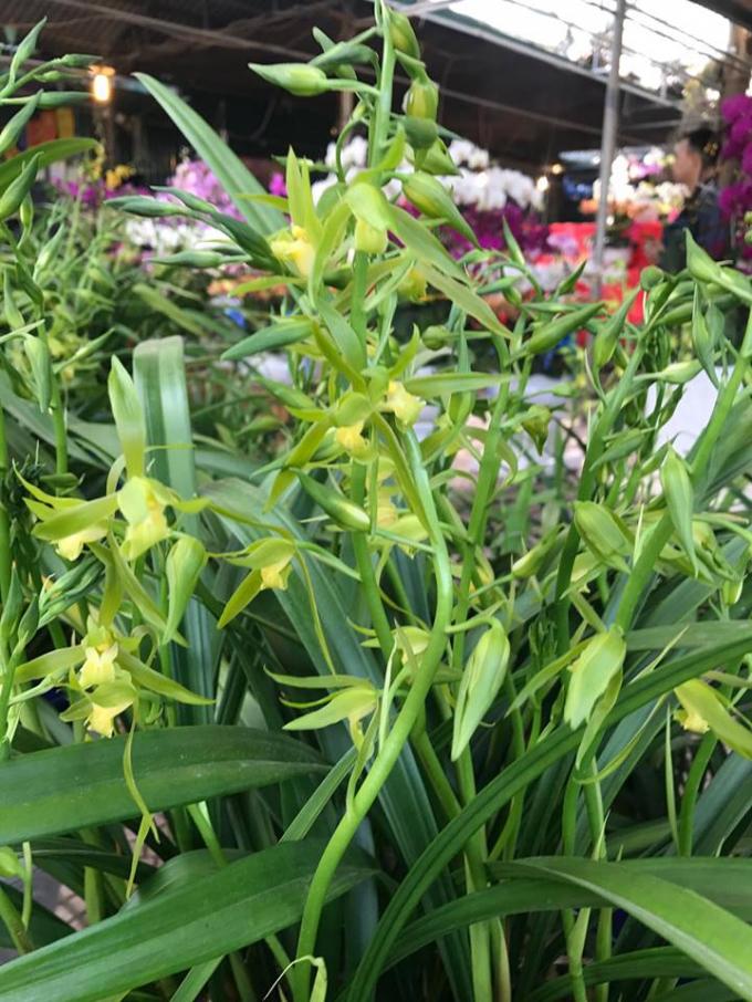 Địa lan Hoàng Vũ được bày bán tại vườn lan Tấn Phong, khu chợ hoa - cây cảnh Vạn phúc, Hà Đông, Hà Nội