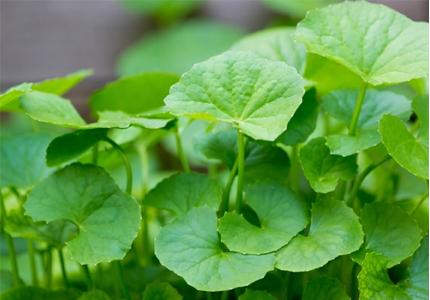 Rau má thường dùng để làm thuốc bổ dưỡng, sát trùng, chữa thổ huyết, tả lỵ, khí hư, bạch đới, mụn nhọt, rôm sảy.