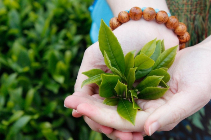 Trà xanh (Camellia Sinensis)