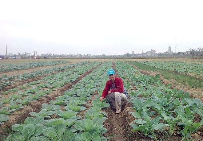 Chủ nhiệm HTX Trần Chung bên cánh đồng rau sạch công nghệ cao