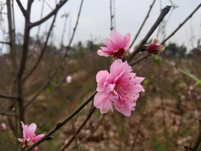 Hoa đào năm nay nở đúng dịp nên rất được khách hàng ưa chuộng.