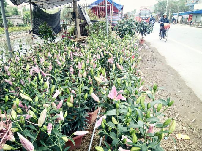 Những chậu hoa ly có giá khoảng từ 150 đến 500 ngàn đồng.