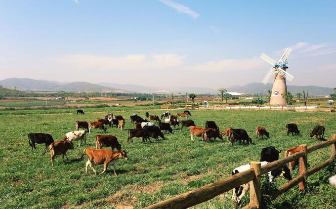Với hệ thống chuồng trại mở, bò thoải mái ra đồng cỏ khi điều kiện thời tiết thuận lợi. Nếu trời mưa, nắng nóng, bò cũng có thể tự trở về chuồng - nơi được trang bị hệ thống làm mát vận hành hoàn toàn tự động, nệm nằm êm như khách sạn để nghỉ ngơi.