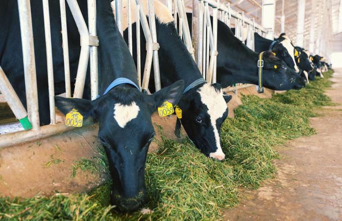 """Tất cả quy trình chăm sóc đàn bò và sản xuất sữa nguyên liệu đều đảm bảo tuân thủ nghiêm ngặt theo chế độ """"3 không"""" của tiêu chuẩn organic châu Âu."""