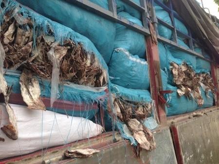 Hàng trăm bao tải mực bốc mùi hôi thối đang trên đường tuồn ra Hà Nội tiêu thụ. (Ảnh: Đông Bắc)
