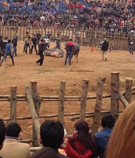 Yên Bái: Hàng nghìn người nô nức đi xem lễ hội chọi trâu