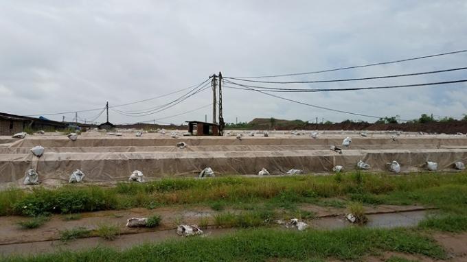 Hàng vạn viên gạch mộc đang dầm mưa dãi nắng sắp đất lại hoàn đất khi UBND tỉnh Hải Dương cấm đốt gây thiệt hại hàng tỷ đồng cho các chủ cơ sở.