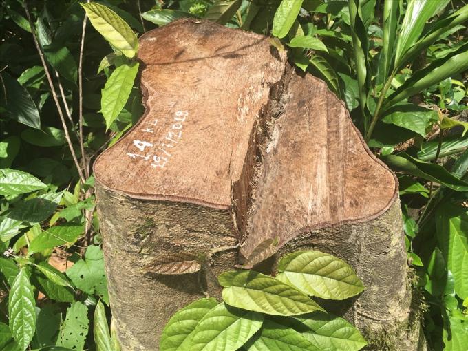 Một trong 24 gốc cây rừng đã bị Nguyễn Đặng An chặt hạ để về đóng chuồng gà. Ảnh: H.H