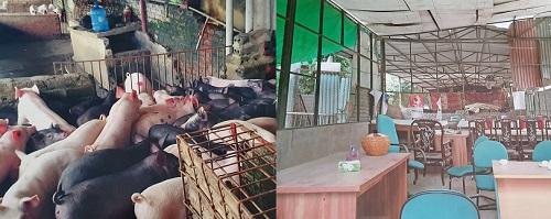 Lợn và tài sản của Công ty CP KAT trước khi bị HTX dịch vụ tổng hợp Việt Trung và UBND phường Trần Phú bất chấp các quy định của pháp luật đơn phương chấm dứt hợp đồng gây thiệt hại về kinh tế cho công ty KAT