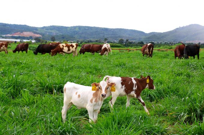 Các trang trại của Vinamilk có quy mô rất lớn với số lượng bò lên tới hàng chục ngàn con.
