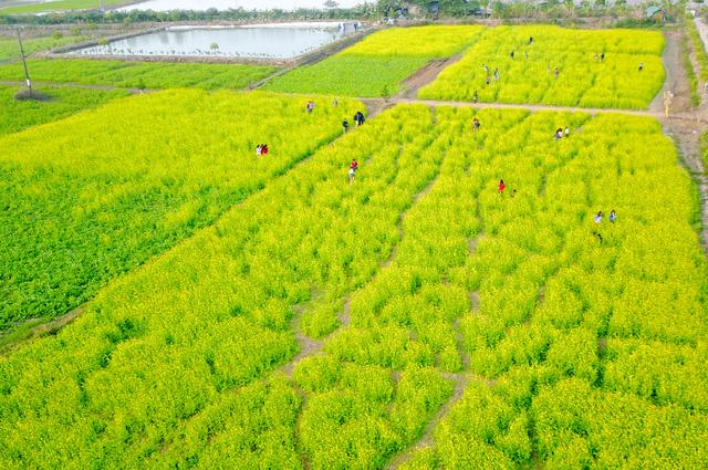 Vài năm gần đây, những cánh đồng hoa cải nhuộm sắc vàng đã trở thành địa điểm