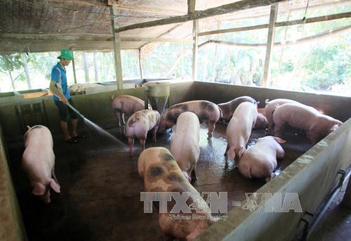 Giá lợn hơi tăng mạnh do mất cân đối cung cầu. Ảnh: TTXVN