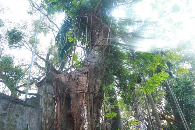 Cây sưa đỏ 130 năm tuổi có đường kính khoảng 1m, cao khoảng 4m (Ảnh: Nguyễn Trường).