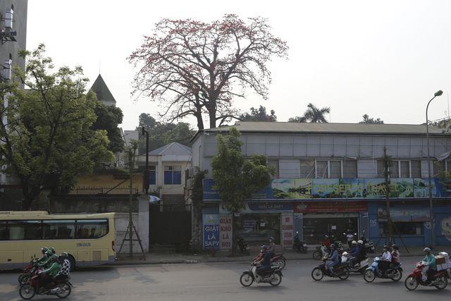 Trên đường Trần Khánh Dư có 3 cây cổ thụ lớn, đang độ ra hoa với màu đỏ vô cùng đẹp mắt.
