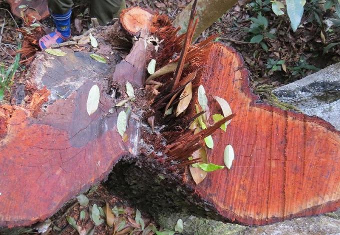 """Một gốc gỗ mun sọc ở tiểu khu 650 bị """"lâm tặc"""" cắt ngang gốc."""
