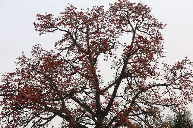 Khi gạo ra hoa, quan sát thấy chỉ một màu đỏ rực, rất ít màu xanh của cây.