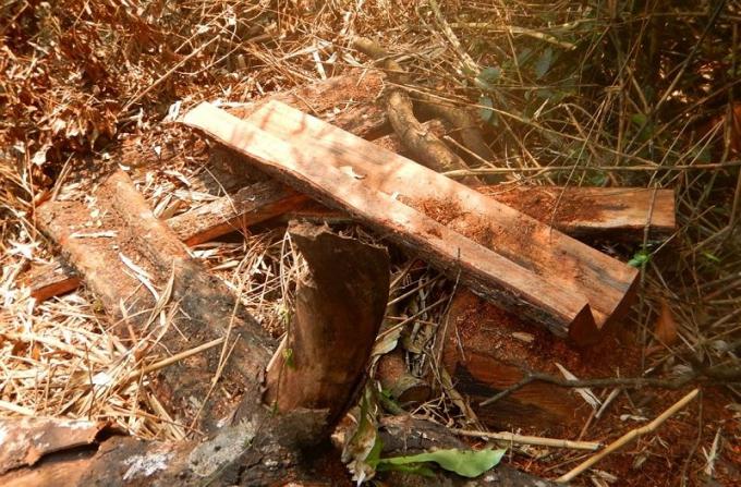Cảnh tượng xót xa tại một bãi khai thác gỗ mun của