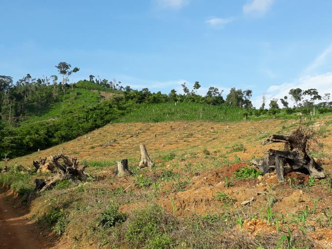 Một góc hiện trường gỗ rừng của Công ty LN Ea Kar bị khai thác trái phép tại tiểu khu 701.