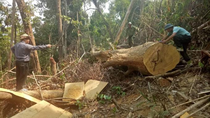 Nhiều cánh rừng tự nhiên tự do Công ty LN Ea Kar quản lý bảo vệ đã bị phá tan hoang.