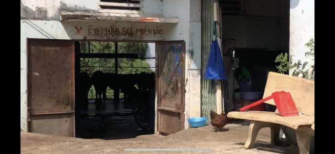 Bò được thu mua, nuôi nhốt tại các lò mổ trong khu dân cư .