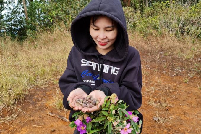 Không chỉ hoa, mà quả Sim cũng có sức hút kéo Ka Uyên rời phố thị.