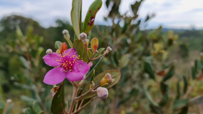 """Tuy nhiên, hoa Sim có nhụy nhiều hơn, cánh hoa dày và e ấp hơn hoa Mua. Dù nhìn qua, hoa Mua có vẻ sặc sỡ hơn, nhưng hoa Sim vẫn luôn được trân trọng là """"hoa của núi đồi, hoa của thủy chung""""."""