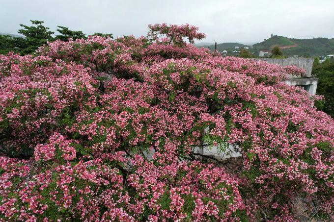 Mấy hôm nay Lâm Đồng hứng chịu nhiều cơn mưa lớn, cũng vì thế mà xứ sở ngàn hoa kém phần rực rỡ hơn. Thế nhưng, suốt dải đất trên cao nguyên Lâm Viên, nhiều loài hoa vẫn bền bỉ khoe sắc.