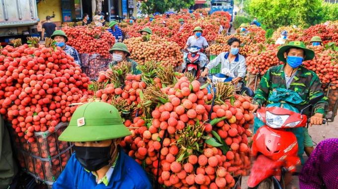 Vận chuyển vải thiều ra các điểm thu mua tại Bắc Giang.