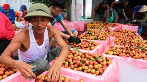 Huyện Thanh Hà có cả trăm điểm thu mua, sơ chế, đóng gói vải xuất khẩu.Ảnh:Giang Chinh