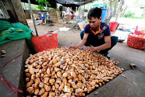 Một cơ sở thu mua hạt sầu riêng tại huyện Di Linh. Ảnh:Hoàng Trường