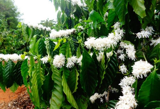 Dù cho là nở trái mùa nhưng hoa cũng đủ đầy sắc hương, khiến bao người mê đắm.(Ảnh Minh Trang)