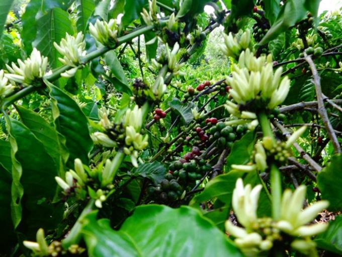 Những chùm hoa, quả xen lẫn nhau tạo nên nhiều màu sắc cho khu vườn.(Ảnh Minh Trang)