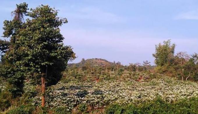 Nhìn những đồi Cà phê bung hoa nở trắng xoá, nối tiếp nhau chạy dài mãi làm cho bất cứ ai cũng sẽ rung động.(Ảnh Minh Trang)