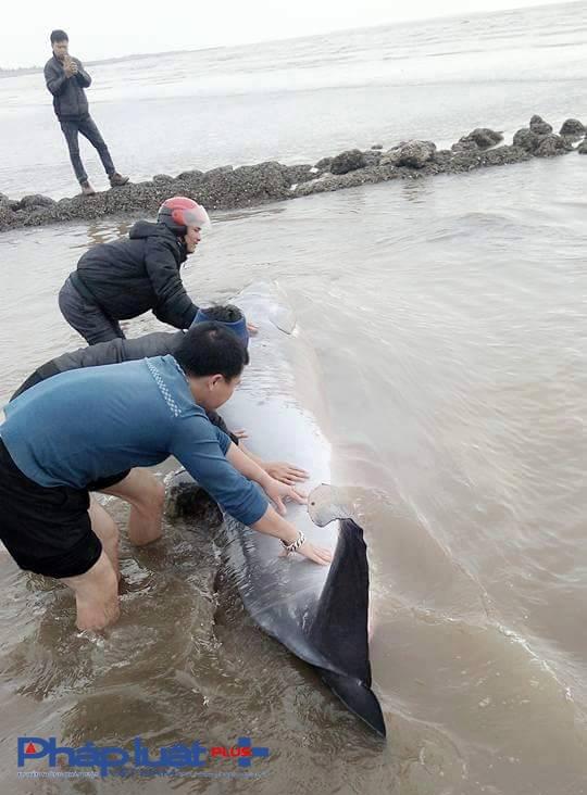 Cá voi lại được trở về với biển khơi, ngôi nhà của chúng.(Ảnh: Clb Tình nguyện kênh Nam Định).