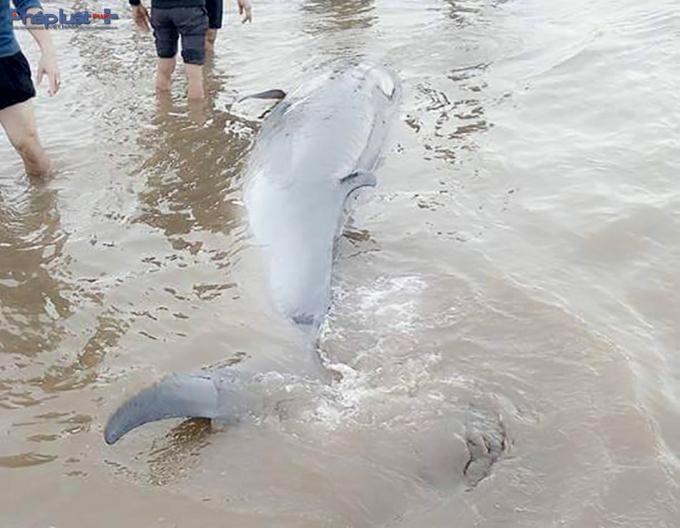 Cá voi được người dân tìm cách đưa ra biển.(Ảnh: Clb Tình nguyện kênh Nam Định).