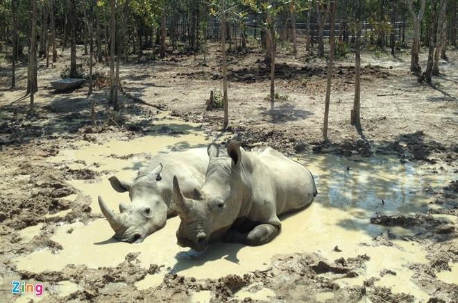 Xung quanh khu vực Tê giác trắng khá ít cỏ. Ảnh:Việt Tường.