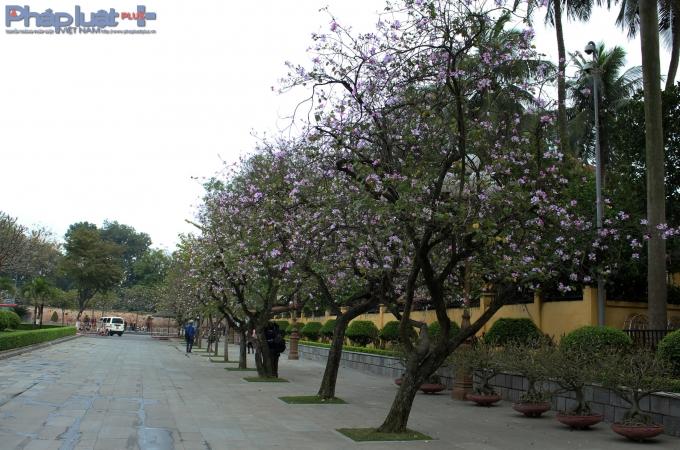 Đẹp nhất, rực rỡ nhất, ấn tượng nhất tại Thủ đô Hà Nội chỉ có thể là ở đường Bắc Sơn.(Ảnh: Đức Biên)