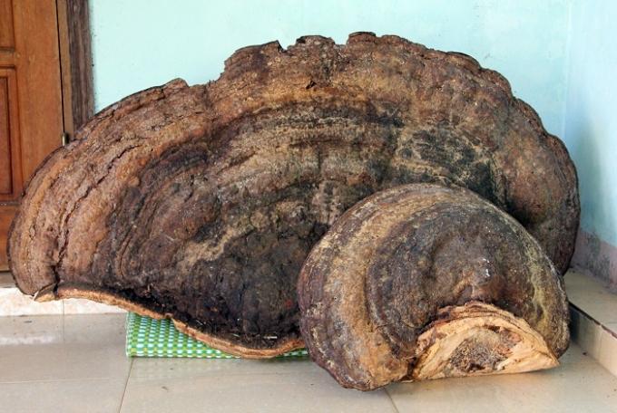 Cây nấm linh chi khổng lồ được ông Toàn mua về (Ảnh: Duy Ngơị)