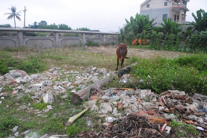Không chỉ tập kết rác thải, mặt tiền Khu di chỉ khảo cổ học Cồn Điệp còn là nơi để người dân chăn thả trâu bò (ảnh Duy Ngợi).