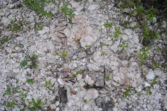 Có thể dễ dàng tìm thấy nhiều loại xác sò, huyết tại Di chỉ khảo cổ học Cồn Điệp (ảnh Duy Ngợi)