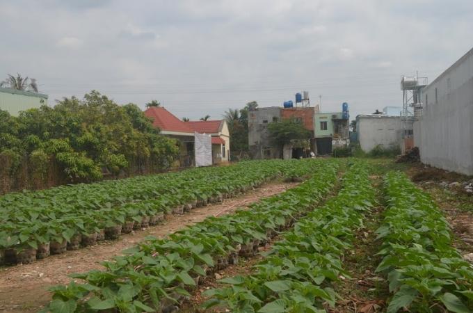 An Phú Đông (quận 12) là xứ trồng hoa kiểng chưng ngày Tết lớn nhất nhìn ở Sài Gòn. Trong ảnh: vựa trồng hoa Hướng Dương.