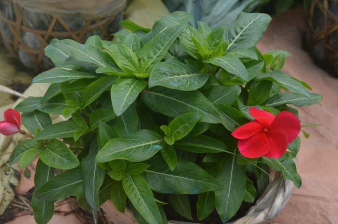Mỗi chậu hoa kiểng dạo động từ 20.000 đ đến 35.000 đồng (tuy vào loại hoa).