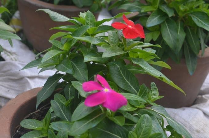 Nhiều hộ kinh doanh hoa Tết đã thức đêm dậy sớm để chăm sóc những chậu hoa kiểng.