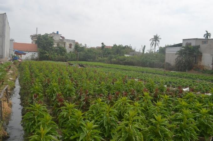 Tập trung chủ yếu ở khu phố 2 và khu phố 4 (phường An Phú Đông). Trong ảnh; Hoa mồng gà.