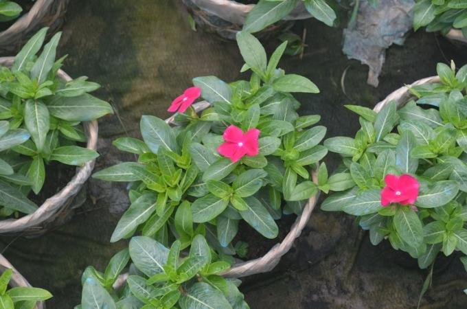 Theo chị Thu Hà (42 tuổi, người có 15 năm trồng hoa), trước tết 3 tháng là dành trọn thời gian chăm sóc hoa. Thu nhập mỗi vụ hoa Tết tầm 20-30 triệu/3 tháng/2 lao động chính.